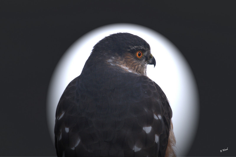 AS 07DC3974<br /> Sharp-shinned Hawk (Accipiter striatus).