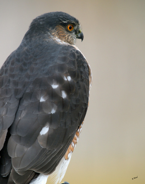 AS 07NV2877<br /> Sharp-shinned Hawk (Accipiter striatus).