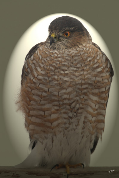 AS 07DC3941<br /> Sharp-shinned Hawk (Accipiter striatus).
