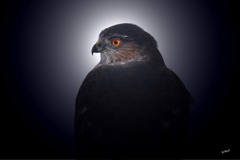 AS 07DC3973<br /> Sharp-shinned Hawk (Accipiter striatus).