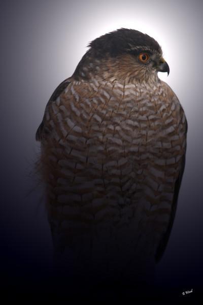 AS 07DC3944<br /> Sharp-shinned Hawk (Accipiter striatus).
