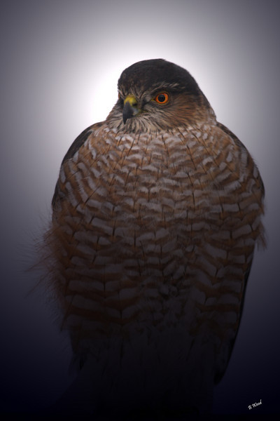 AS 07DC3937<br /> Sharp-shinned Hawk (Accipiter striatus).