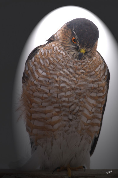 AS 07DC3946<br /> Sharp-shinned Hawk (Accipiter striatus).
