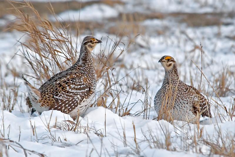 Grouse - Sharp-tailed - Aitken County, MN