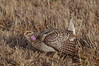 Grouse - Sharp-tailed - Aitken County, MN