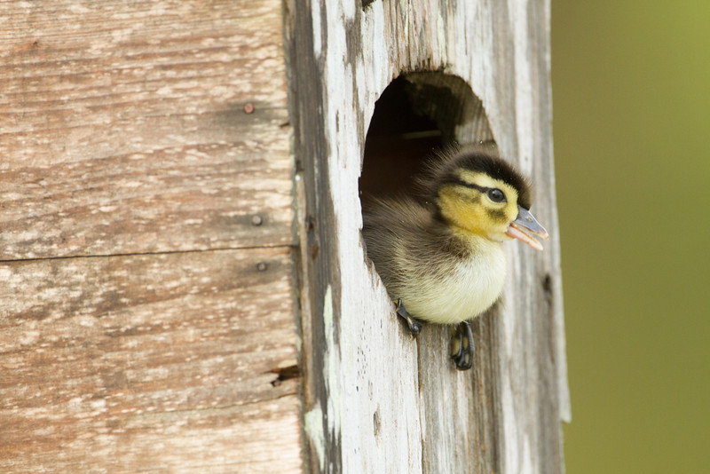 Newly hatched wood duck chick