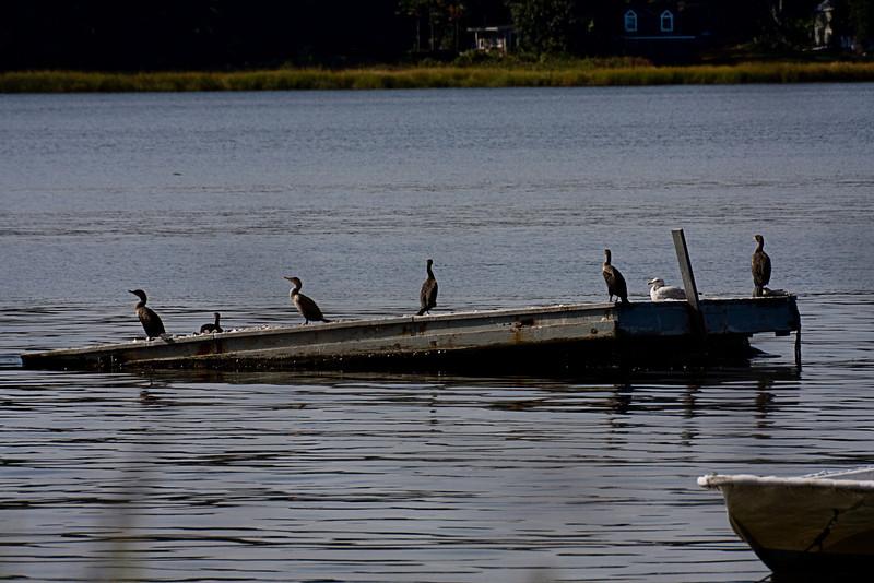 <center>Double Crested Cormorants<br><br>Touisset Marsh Wildlife Refuge<br>Warren, Rhode Island</center>