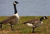 <center>Canada Goose <br><br>Bold Point Park<br>East Providence, Rhode Island</center>