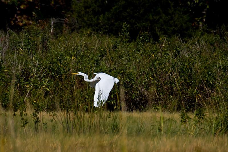 <center>Great Egret<br><br>Touisset Marsh Wildlife Refuge<br>Warren, Rhode Island</center>
