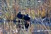 <center>American Black Duck<br><br>Moonstone Beach<br>South Kingstown, Rhode Island</center>