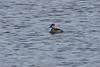 <center>Ruddy Duck<br><br>Trustom Pond National Wildlife Refuge<br>South Kingstown, Rhode Island</center>