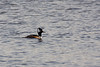 <center>Hooded Merganser<br><br>Trustom Pond National Wildlife Refuge<br>South Kingstown, Rhode Island</center>
