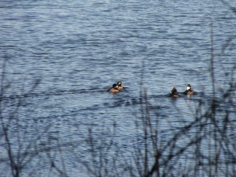 <center>Hooded Mergansers <br><br>Trustom Pond<br>South Kingstown, Rhode Island</center>
