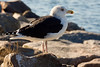 <center>Great Black-backed Gull<br><br>Salty Brine State Beach<br>Narragansett, Rhode Island</center>