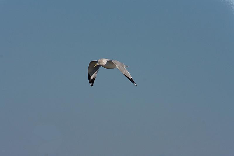 <center>Ring Billed Gull<br><br>Moonstone Beach<br>South Kingstown, Rhode Island</center>
