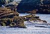 <center>Brant<br><br>Sachuest Point National Wildlife Refuge<br>Middletown, Rhode Island</center>