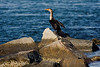 <center>Double Crested Cormorant<br><br>Quonochontaug Breachway<br>Charlestown, Rhode Island</center>