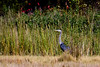 <center>Great Blue Heron<br><br>Touisset Marsh Wildlife Refuge<br>Warren, Rhode Island</center>
