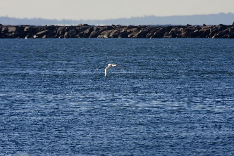 <center>Bonaparte's Gull<br><br>Salty Brine State Beach<br>Narragansett, Rhode Island</center>