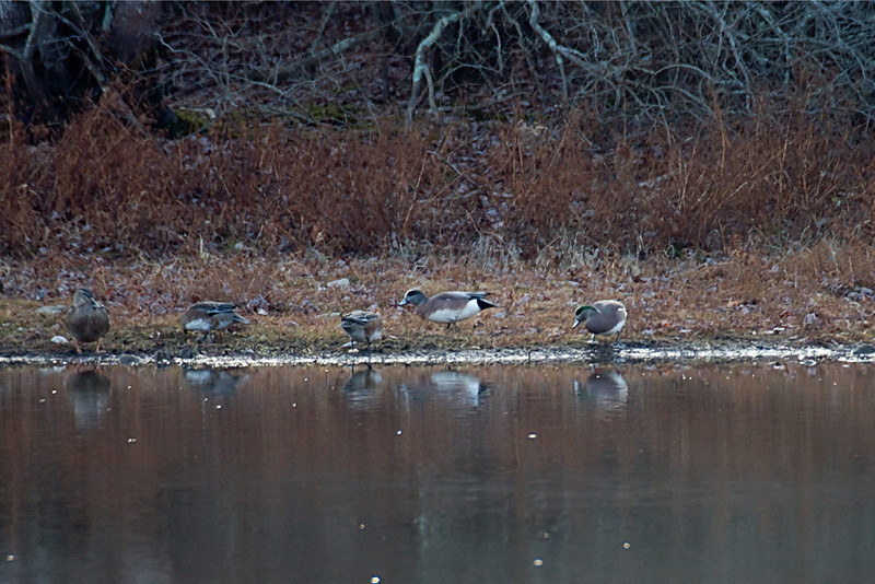 <center>American Wigeon<br><br>Firehouse Pond<br>South Kingstown, Rhode Island</center>