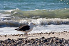 <center>Great Black-Backed Gull<br><br>Moonstone Beach<br>South Kingstown, Rhode Island</center>