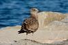 <center>Juvenile Gull<br><br>Salty Brine State Beach<br>Narragansett, Rhode Island</center>