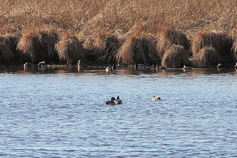 <center>Northern Pintail <br><br>Mud Pond<br>South Kingstown, Rhode Island</center>