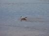 <center>Black Headed Gull<br><br>East Bay Bike Path<br>East Providence, Rhode Island</center>