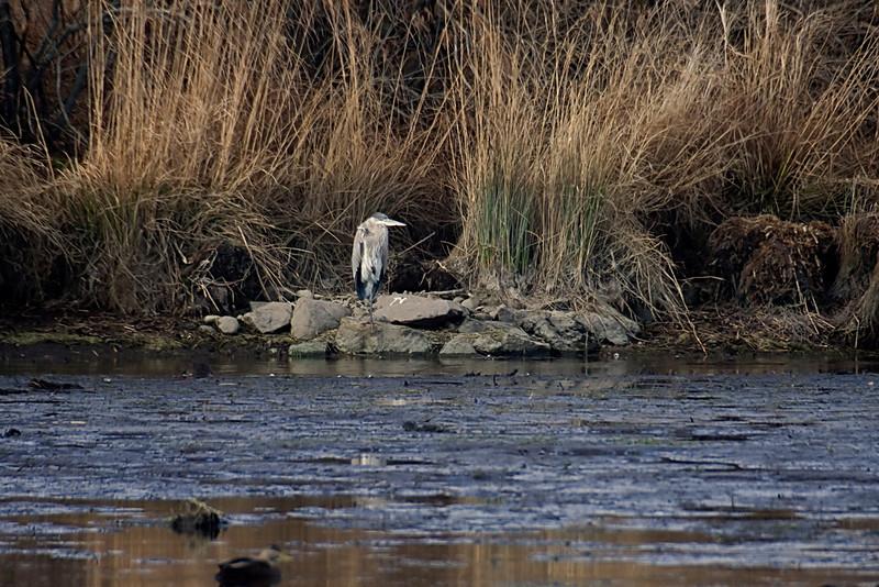<center>Great Blue Heron<br><br>Moonstone Beach<br>South Kingstown, Rhode Island</center>