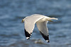 <center>Ring Billed Gull with fish<br><br>Moonstone Beach<br>South Kingstown, Rhode Island</center>