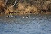 <center>Greater Scaup<br><br>Trustom Pond National Wildlife Refuge<br>South Kingstown, Rhode Island</center>