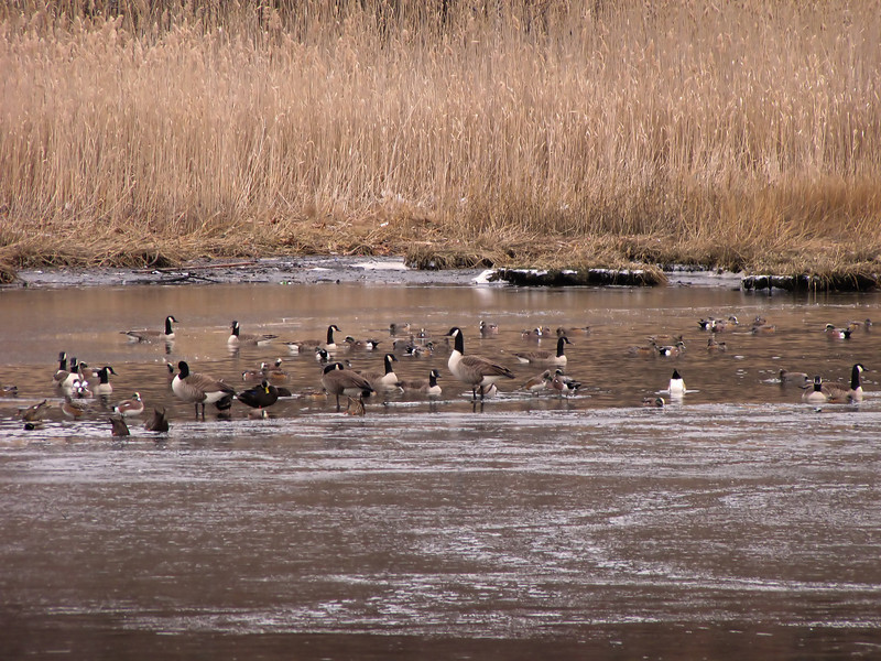<center>Canada Geese and American Wigeons<br><br>East Bay Bike Path<br>East Providence, Rhode Island</center>