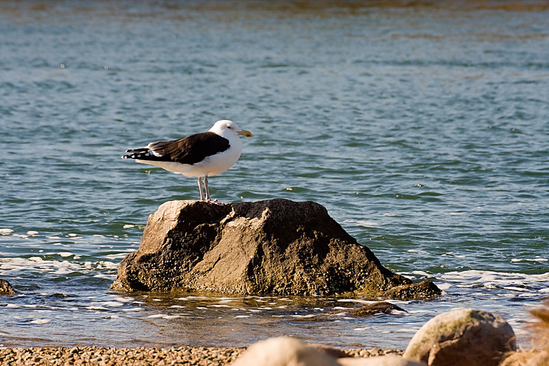 <center>Great Black-backed Gull<br><br>Quonochontaug Breachway<br>Charlestown, Rhode Island</center>