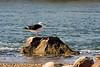 <center>Great Black-backed Gull<br><br>Quonochontaug Breachway<br>Charlestown, Rhode Island</center>
