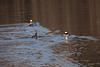 <center>Hooded Merganser  <br><br>Wenscott Reservoir<br>Smithfield, Rhode Island</center>