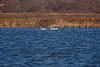 <center>Mute Swans<br><br>Moonstone Beach<br>South Kingstown, Rhode Island</center>