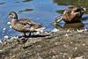 <center>Duck, Duck, Sandpiper!<br><br>Roger Williams Park<br>Providence, Rhode Island</center>