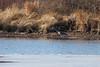 <center>Great Blue Heron <br><br>Mud Pond<br>South Kingstown, Rhode Island</center>