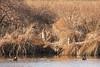 <center>Great Blue Herons <br><br>Mud Pond<br>South Kingstown, Rhode Island</center>