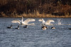 <center>Mute Swans and Canada Geese<br><br>Trustom Pond National Wildlife Refuge<br>South Kingstown, Rhode Island</center>