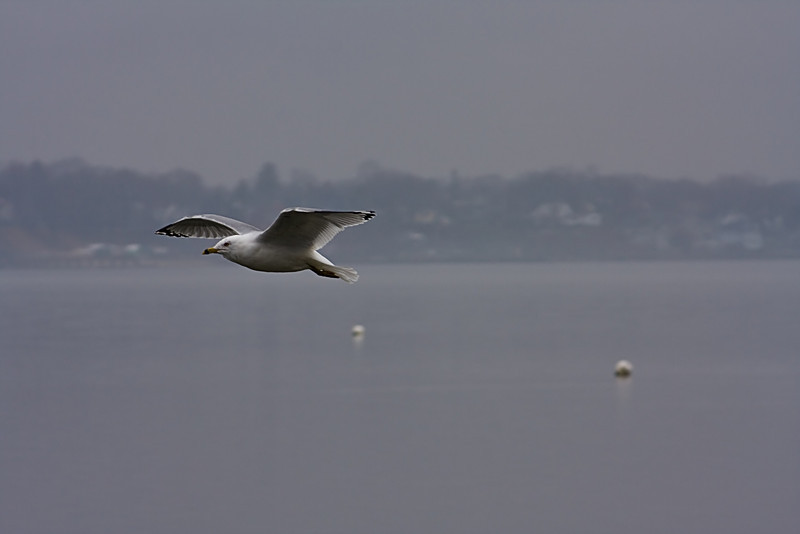<center>Ring Billed Gull<br><br>Sabin Point<br>East Providence, Rhode Island</center>