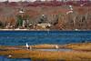 <center>Gulls in Flight<br><br>Quonochontaug Breachway<br>Charlestown, Rhode Island</center>