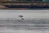 <center>Great Cormorant <br><br>Bold Point Park<br>East Providence, Rhode Island</center>