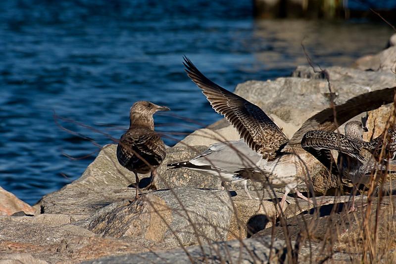 <center>Juvenile Gulls<br><br>Salty Brine State Beach<br>Narragansett, Rhode Island</center>
