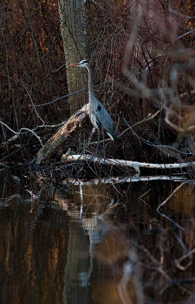<center>Great Blue Heron<br><br>Olney Pond<br>Lincoln, Rhode Island</center>