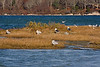 <center>Great Black-backed Gulls and Ring Billed Gulls<br><br>Quonochontaug Breachway<br>Charlestown, Rhode Island</center>