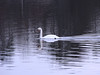 <center>Mute Swan<br><br>East Bay Bike Path<br>East Providence, Rhode Island</center>