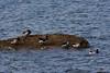 <center>Brandt Geese<br><br>Colt State Park<br>Bristol, Rhode Island</center>