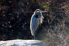 <center>Great Blue Heron  <br><br>Wenscott Reservoir<br>Smithfield, Rhode Island</center>