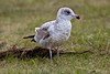 <center>Juvenile Gull<br><br>Fort Taber<br>New Bedford, Massachusetts</center>